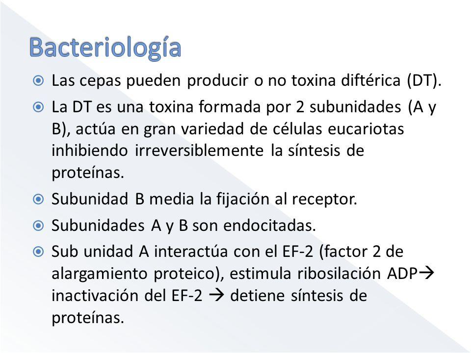 Bacteriología Las cepas pueden producir o no toxina diftérica (DT).