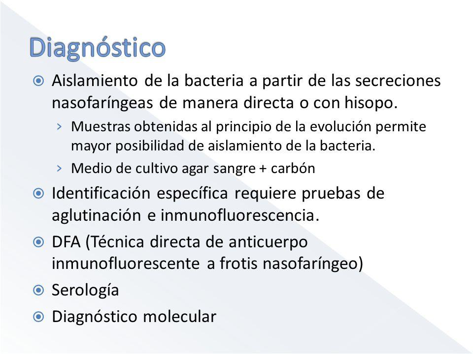Diagnóstico Aislamiento de la bacteria a partir de las secreciones nasofaríngeas de manera directa o con hisopo.