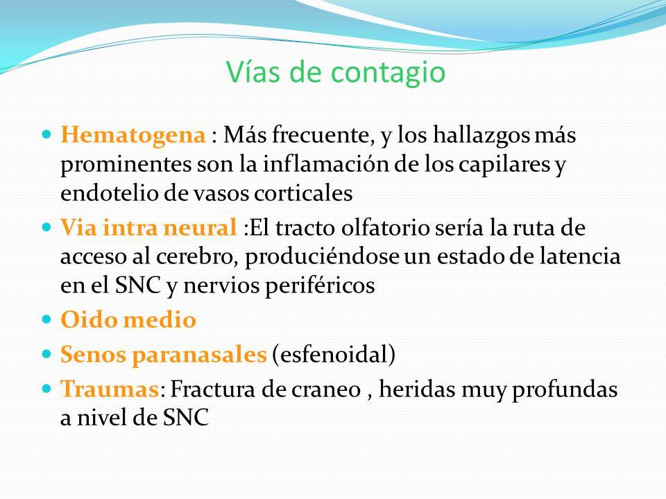 Vías de contagio Hematogena : Más frecuente, y los hallazgos más prominentes son la inflamación de los capilares y endotelio de vasos corticales.