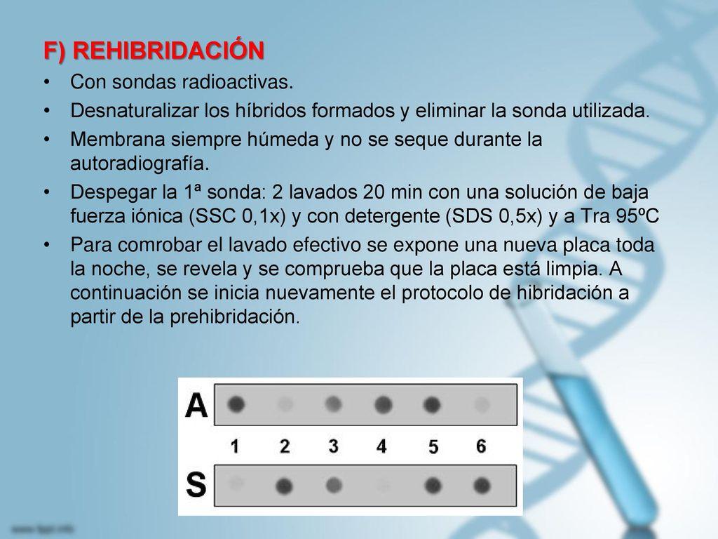 F) REHIBRIDACIÓN Con sondas radioactivas.