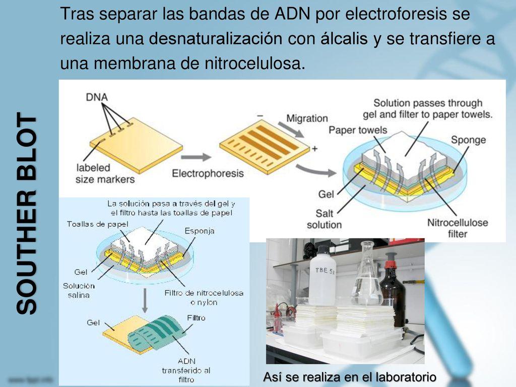 Tras separar las bandas de ADN por electroforesis se realiza una desnaturalización con álcalis y se transfiere a una membrana de nitrocelulosa.