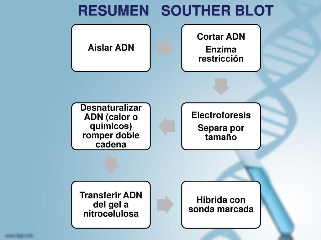 RESUMEN SOUTHER BLOT Aislar ADN Cortar ADN Enzima restricción