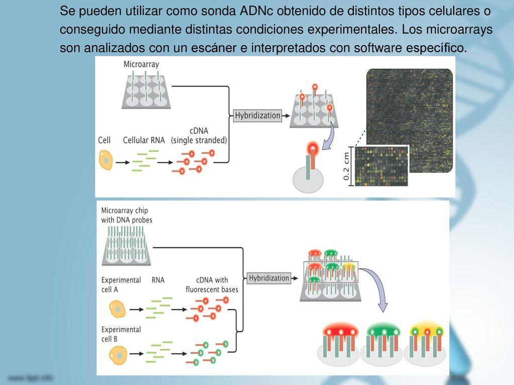 Se pueden utilizar como sonda ADNc obtenido de distintos tipos celulares o