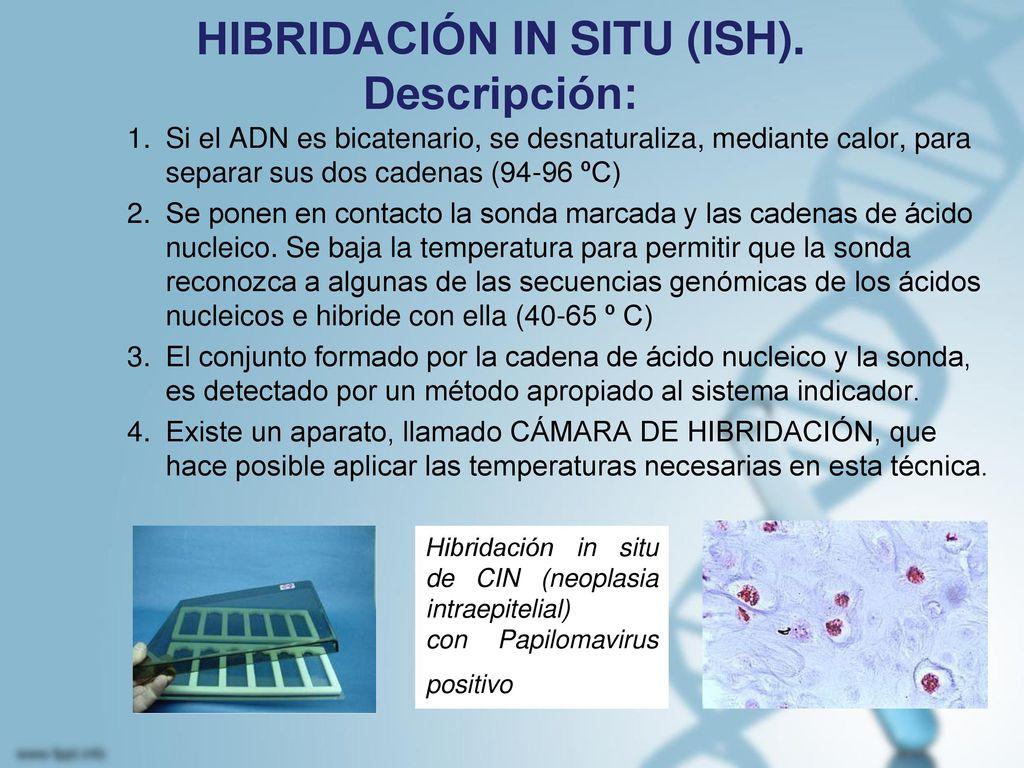 HIBRIDACIÓN IN SITU (ISH). Descripción: