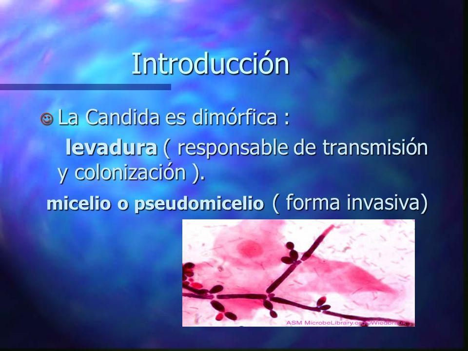 Introducción La Candida es dimórfica :