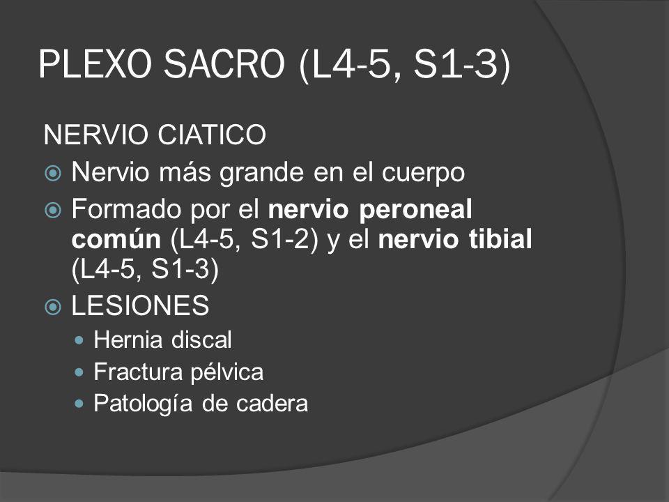 PLEXO SACRO (L4-5, S1-3) NERVIO CIATICO Nervio más grande en el cuerpo
