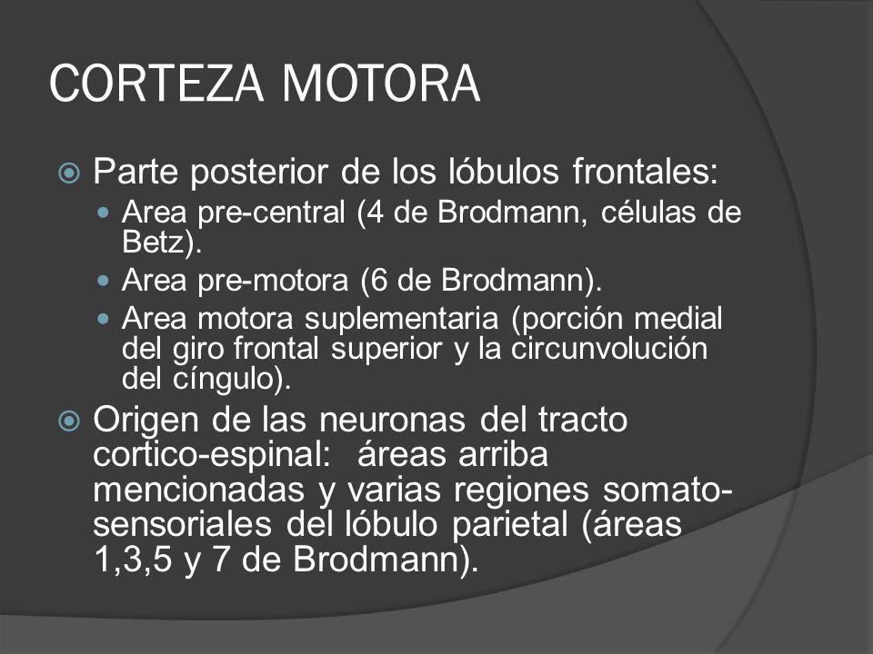 CORTEZA MOTORA Parte posterior de los lóbulos frontales: