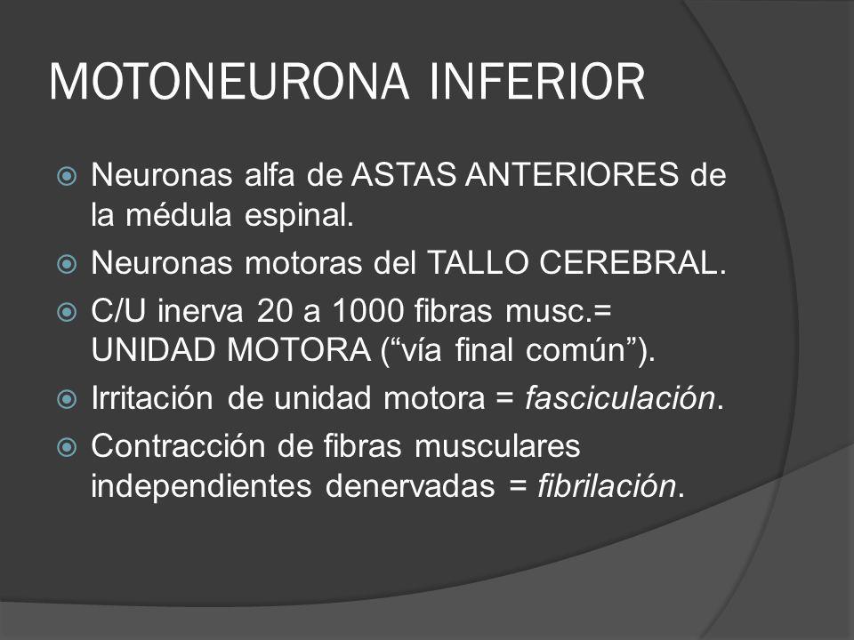 MOTONEURONA INFERIOR Neuronas alfa de ASTAS ANTERIORES de la médula espinal. Neuronas motoras del TALLO CEREBRAL.
