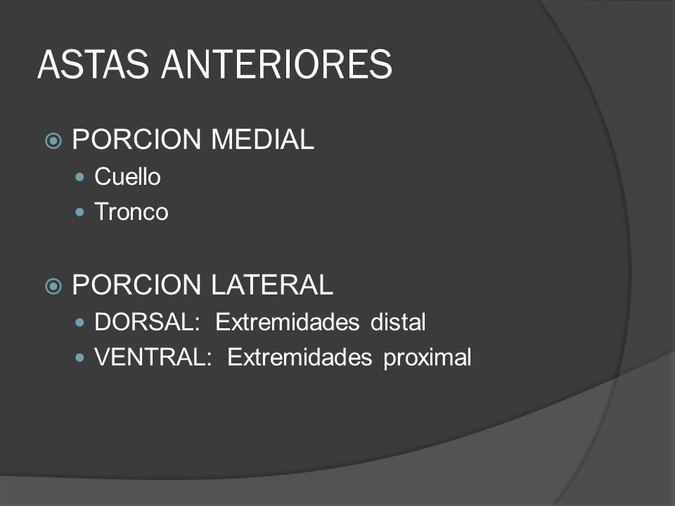 ASTAS ANTERIORES PORCION MEDIAL PORCION LATERAL Cuello Tronco