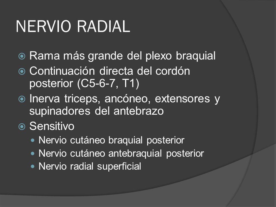 NERVIO RADIAL Rama más grande del plexo braquial