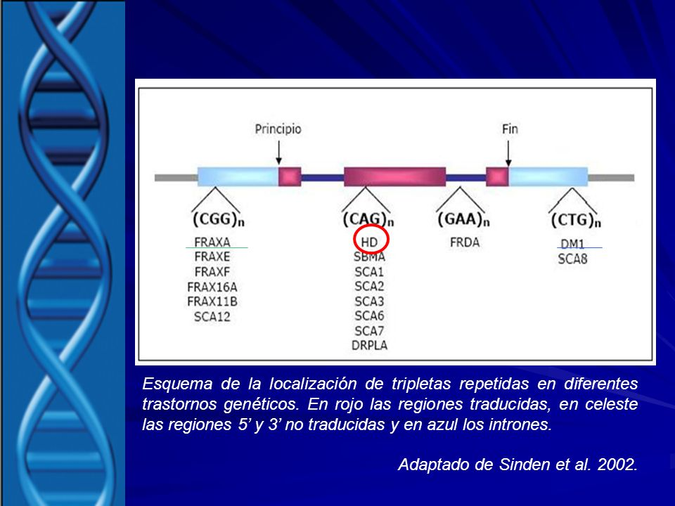 Esquema de la localización de tripletas repetidas en diferentes trastornos genéticos. En rojo las regiones traducidas, en celeste las regiones 5' y 3' no traducidas y en azul los intrones.