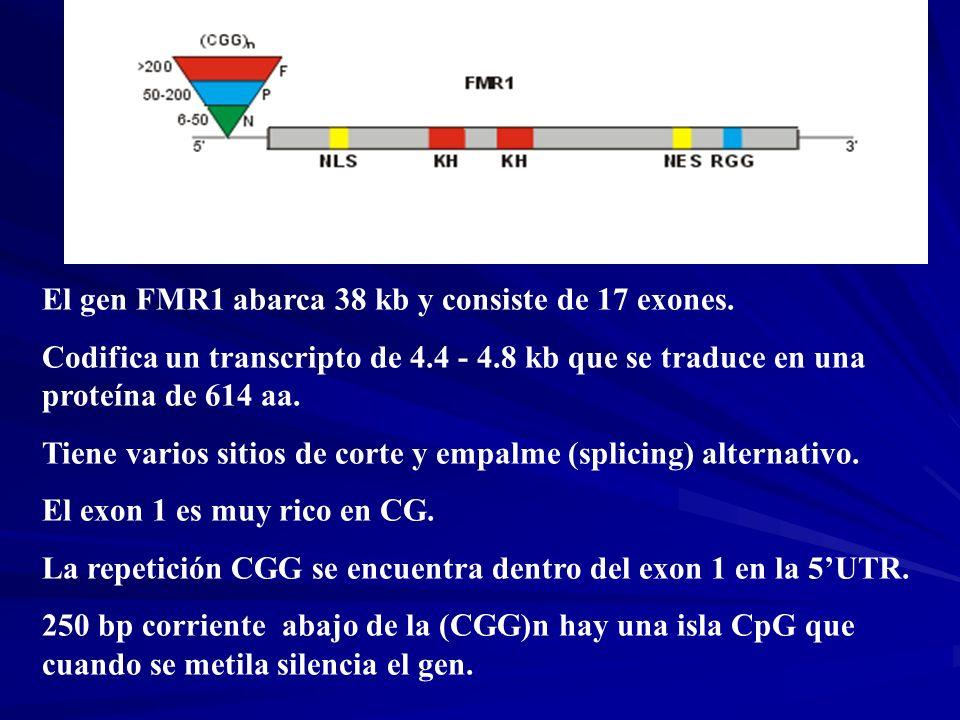 El gen FMR1 abarca 38 kb y consiste de 17 exones.