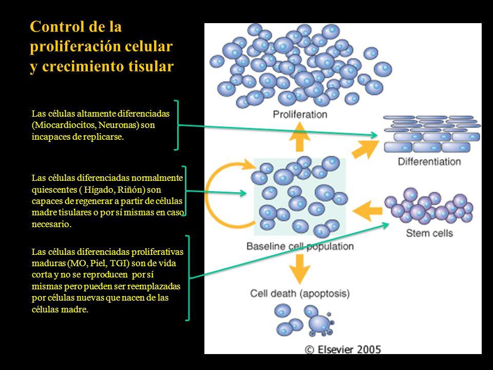 Control de la proliferación celular y crecimiento tisular