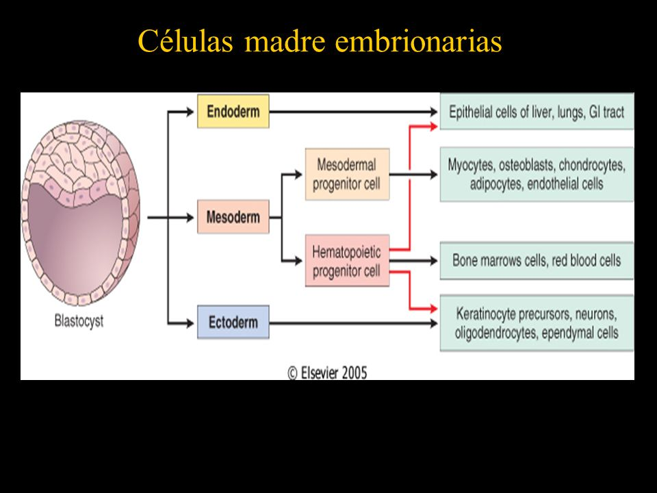 Células madre embrionarias