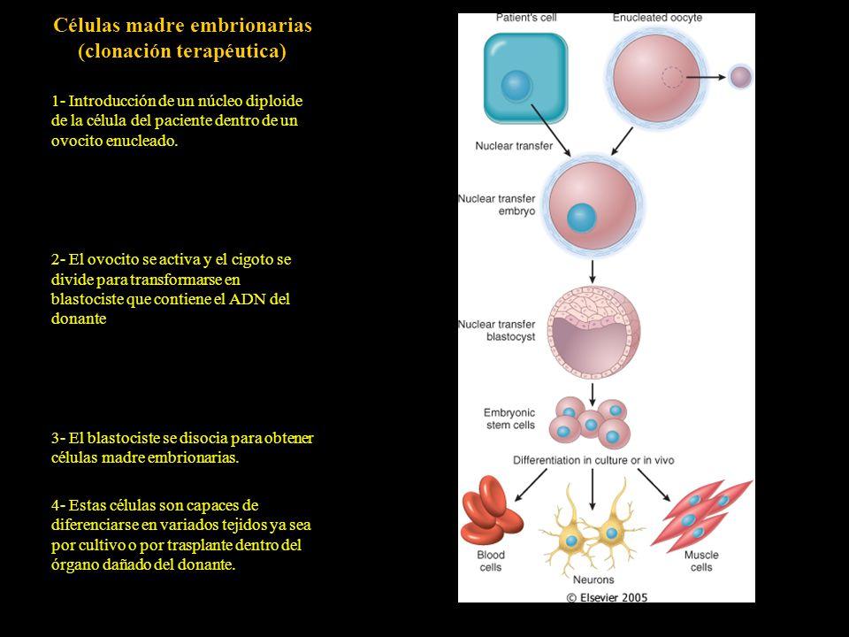 Células madre embrionarias (clonación terapéutica)