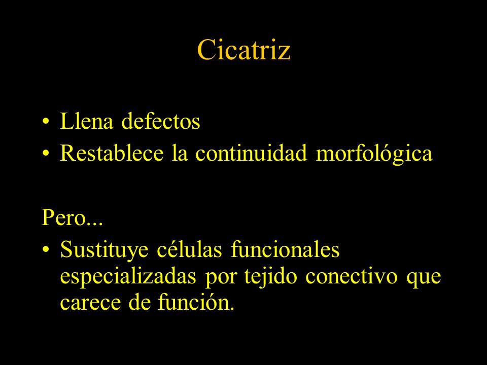 Cicatriz Llena defectos Restablece la continuidad morfológica Pero...