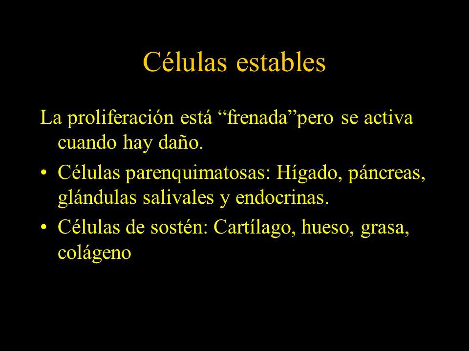 Células estables La proliferación está frenada pero se activa cuando hay daño.