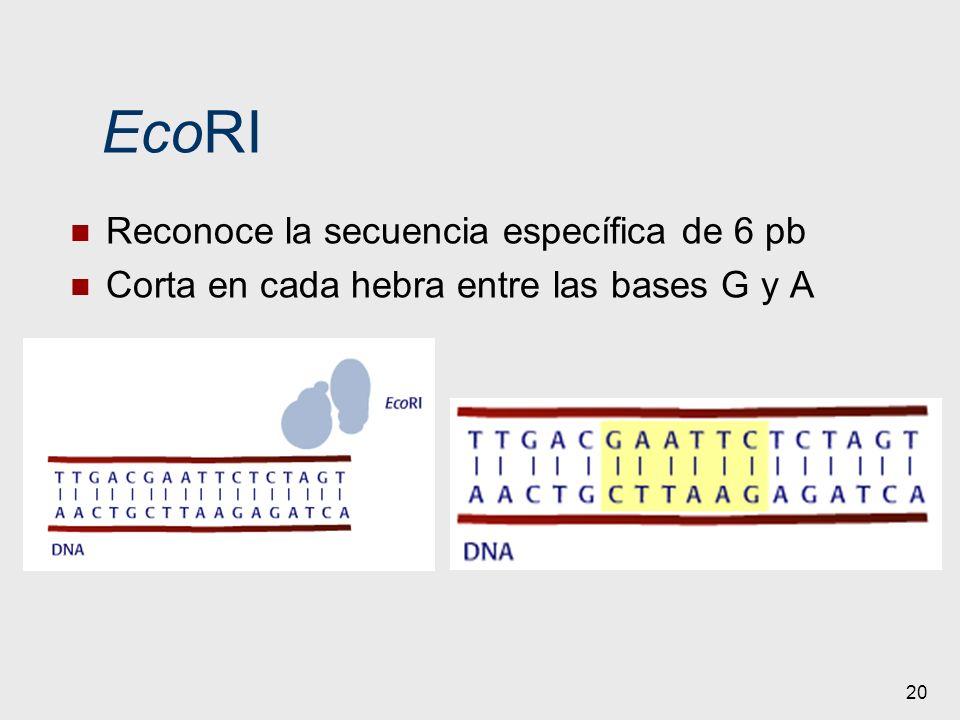 EcoRI Reconoce la secuencia específica de 6 pb