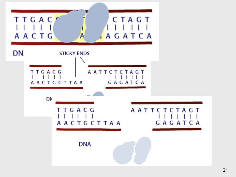 La enzima reconoce la región hace el corte
