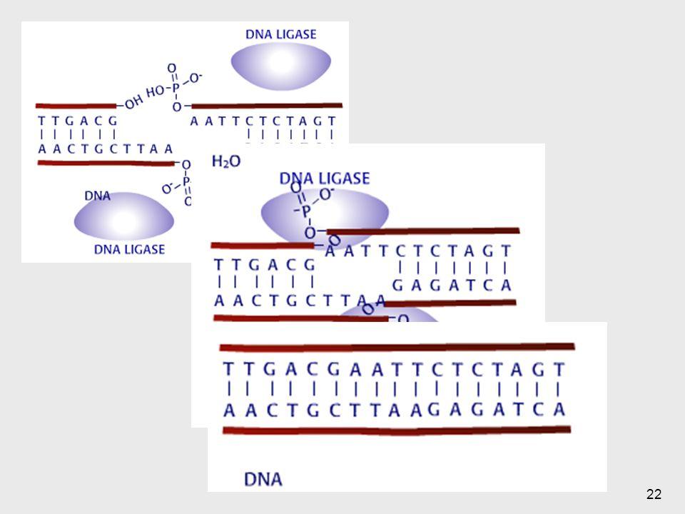 Luego hay otro número de enzimas que me permiten la unión, es con una ligasa que se da esta unión.