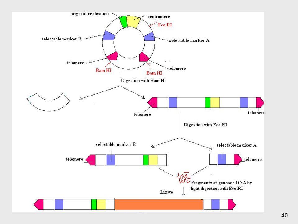 Se parte inicialmente de secuencias, el BAM HI es una enzima de restricción que general cortes homogéneos.