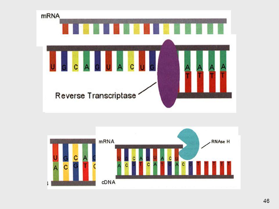Algunos vectores manufacturados contienen vectores de expresión: señles de transcripción o traducción adjacenjes al sitio de inserción del ADNc para facilitar la expresieon de la proteeina codificda por tal secuencia clonada.