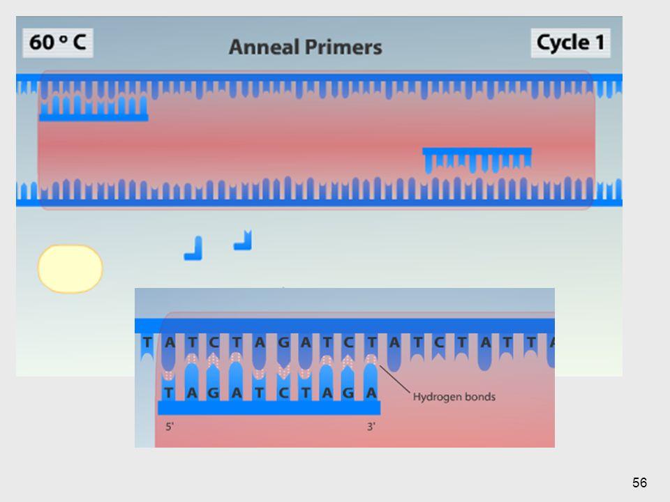 Se logra que los primers encuentren las regiones, esto por medio de puentes de hidrógeno.
