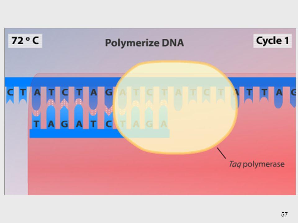 En esta se ve la temperatura a la cual la enzima va a poder polimerizar.