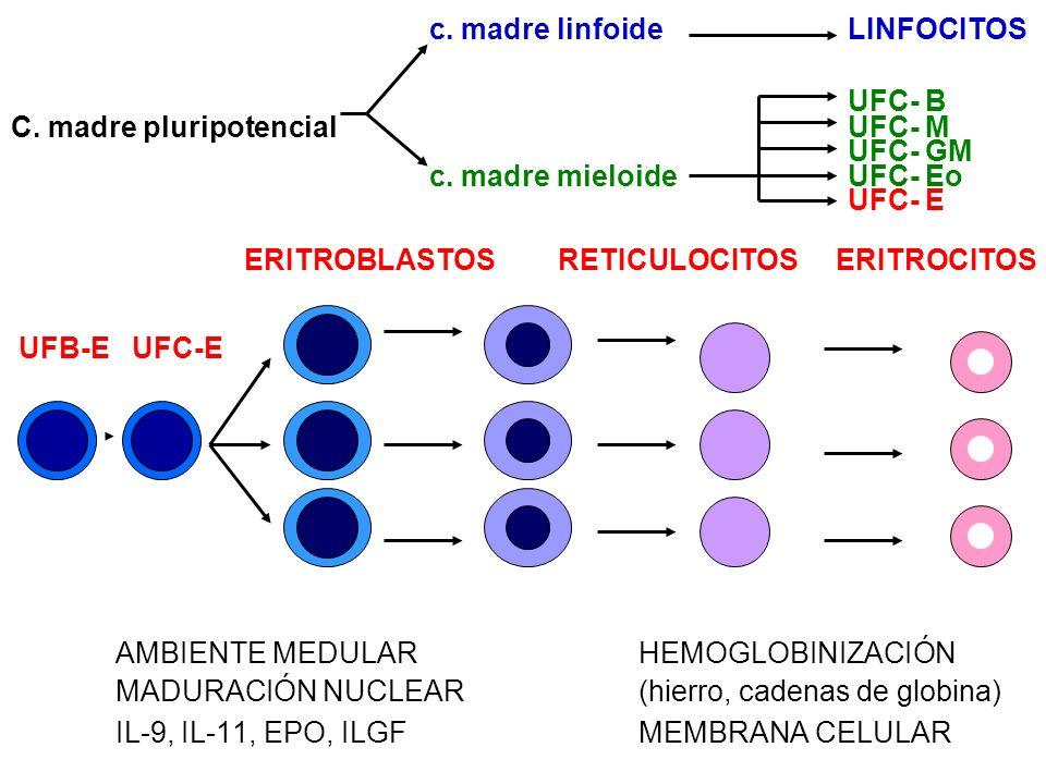 c. madre linfoide LINFOCITOS UFC- B C. madre pluripotencial UFC- M