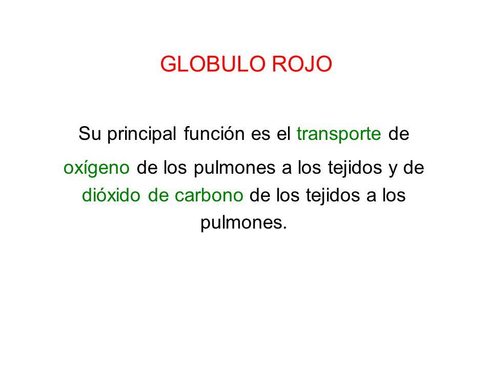 GLOBULO ROJO Su principal función es el transporte de