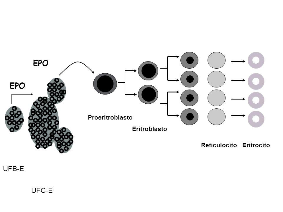 EPO UFB-E UFC-E Proeritroblasto Eritroblasto Reticulocito Eritrocito