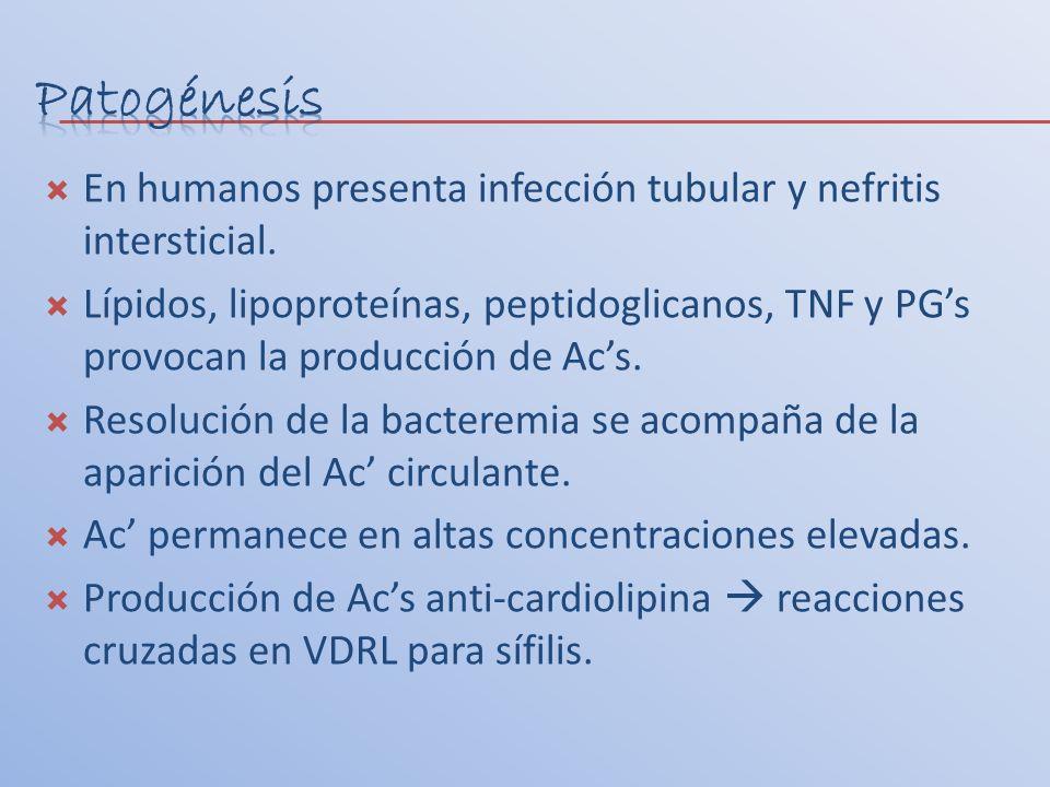 Patogénesis En humanos presenta infección tubular y nefritis intersticial.
