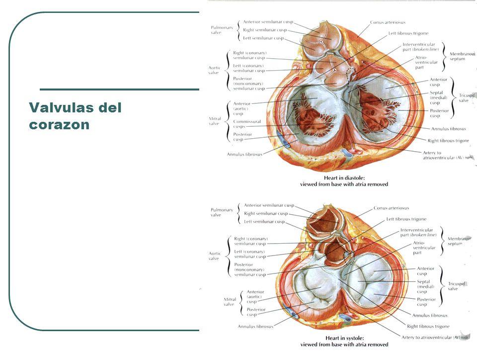 Valvulas del corazon