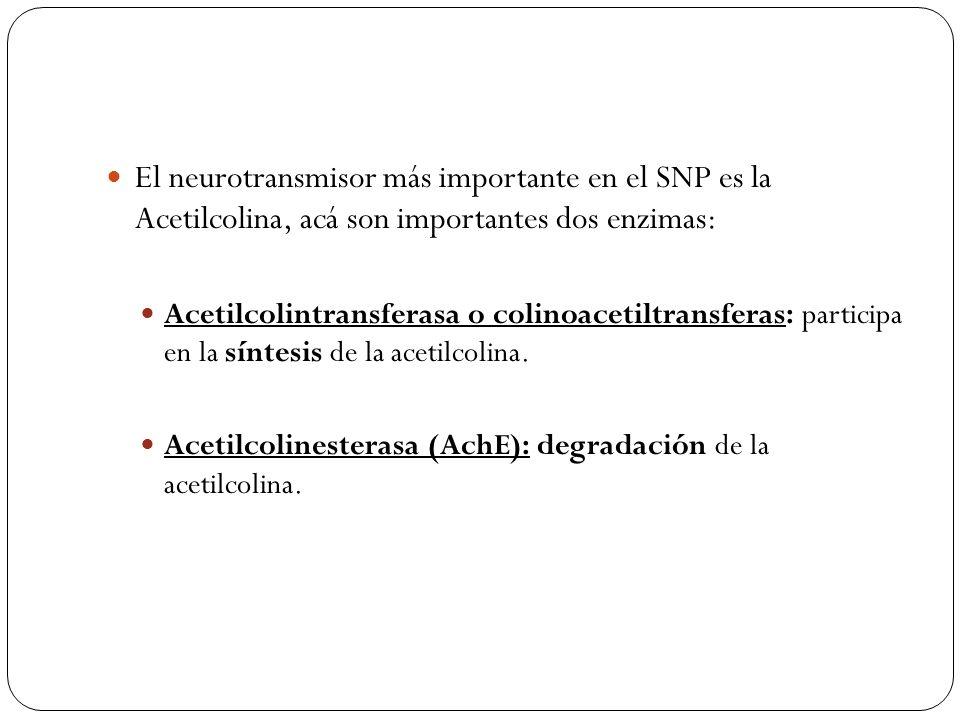El neurotransmisor más importante en el SNP es la Acetilcolina, acá son importantes dos enzimas:
