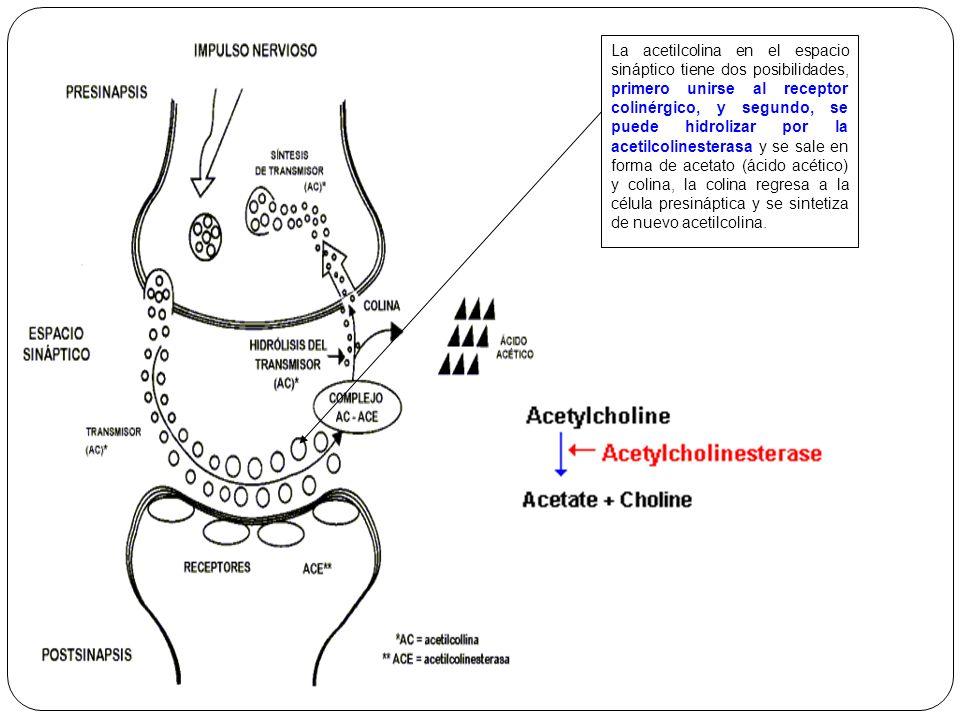 La acetilcolina en el espacio sináptico tiene dos posibilidades, primero unirse al receptor colinérgico, y segundo, se puede hidrolizar por la acetilcolinesterasa y se sale en forma de acetato (ácido acético) y colina, la colina regresa a la célula presináptica y se sintetiza de nuevo acetilcolina.