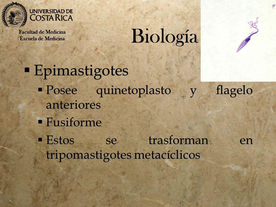 Biología Epimastigotes Posee quinetoplasto y flagelo anteriores