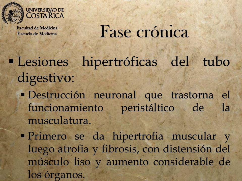 Fase crónica Lesiones hipertróficas del tubo digestivo: