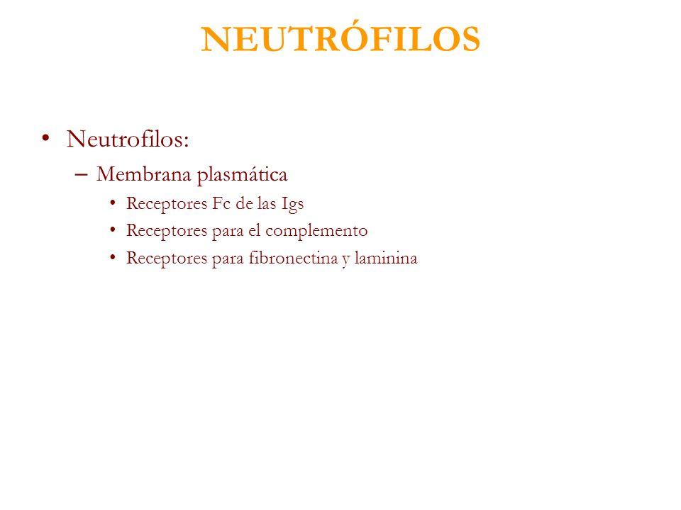 NEUTRÓFILOS Neutrofilos: Membrana plasmática Receptores Fc de las Igs