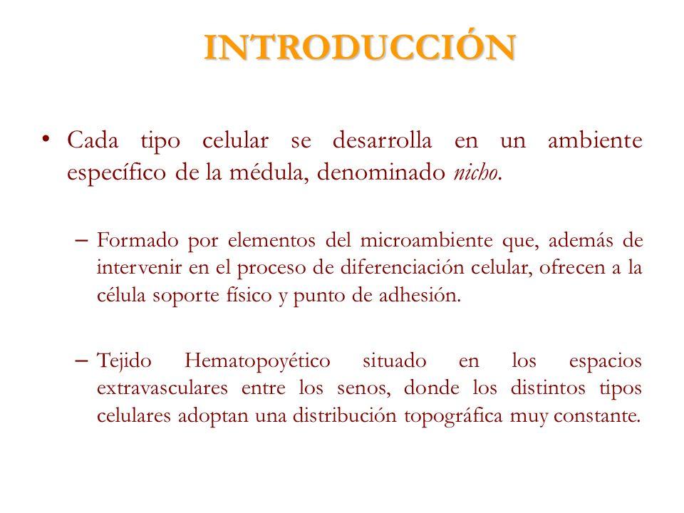 INTRODUCCIÓN Cada tipo celular se desarrolla en un ambiente específico de la médula, denominado nicho.