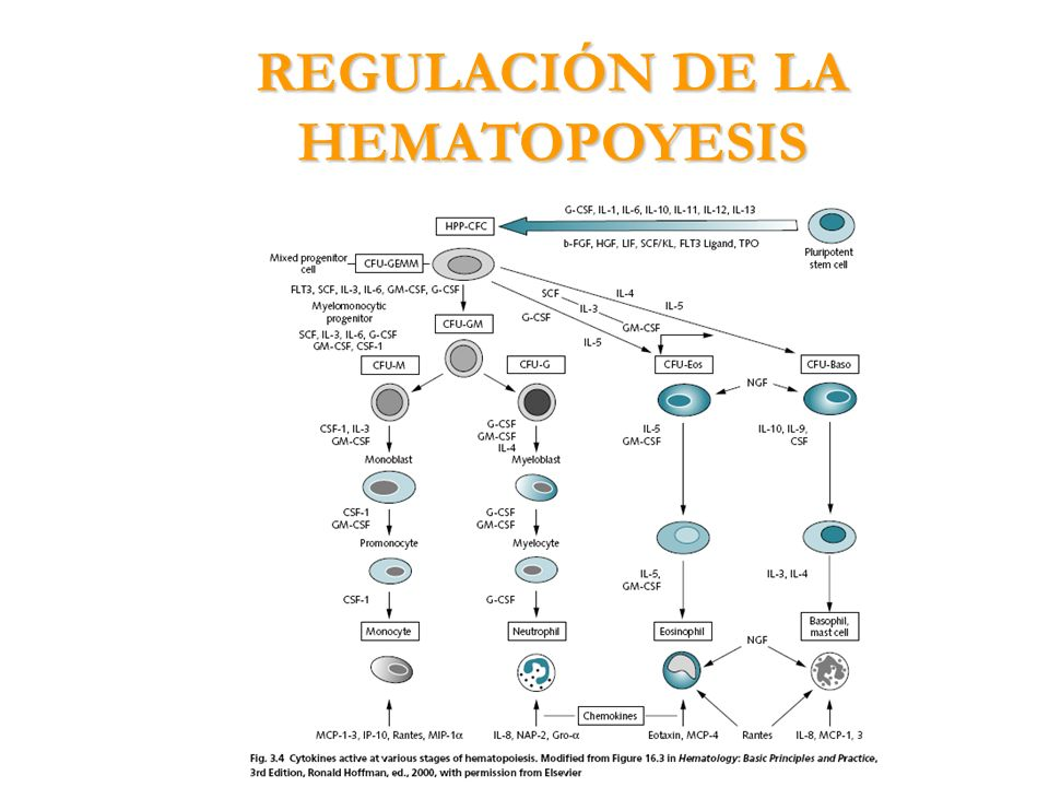 REGULACIÓN DE LA HEMATOPOYESIS