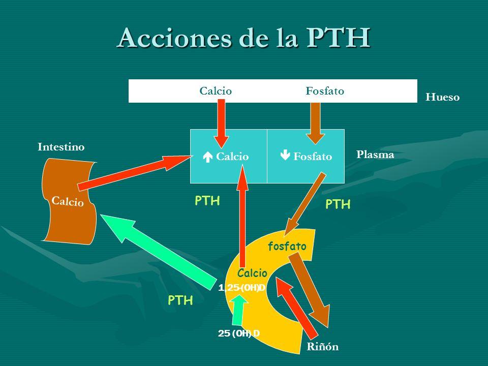 Acciones de la PTH Calcio Fosfato Hueso Intestino  Calcio  Fosfato