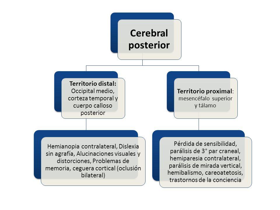 Territorio proximal: mesencéfalo superior y tálamo