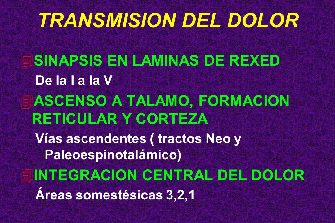 TRANSMISION DEL DOLOR SINAPSIS EN LAMINAS DE REXED