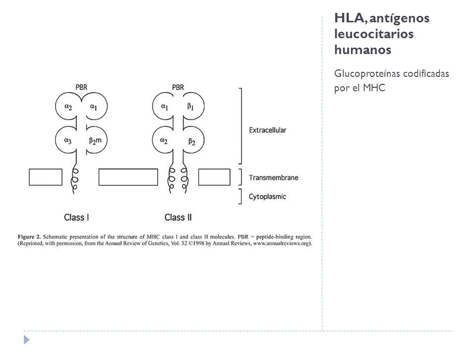 HLA, antígenos leucocitarios humanos