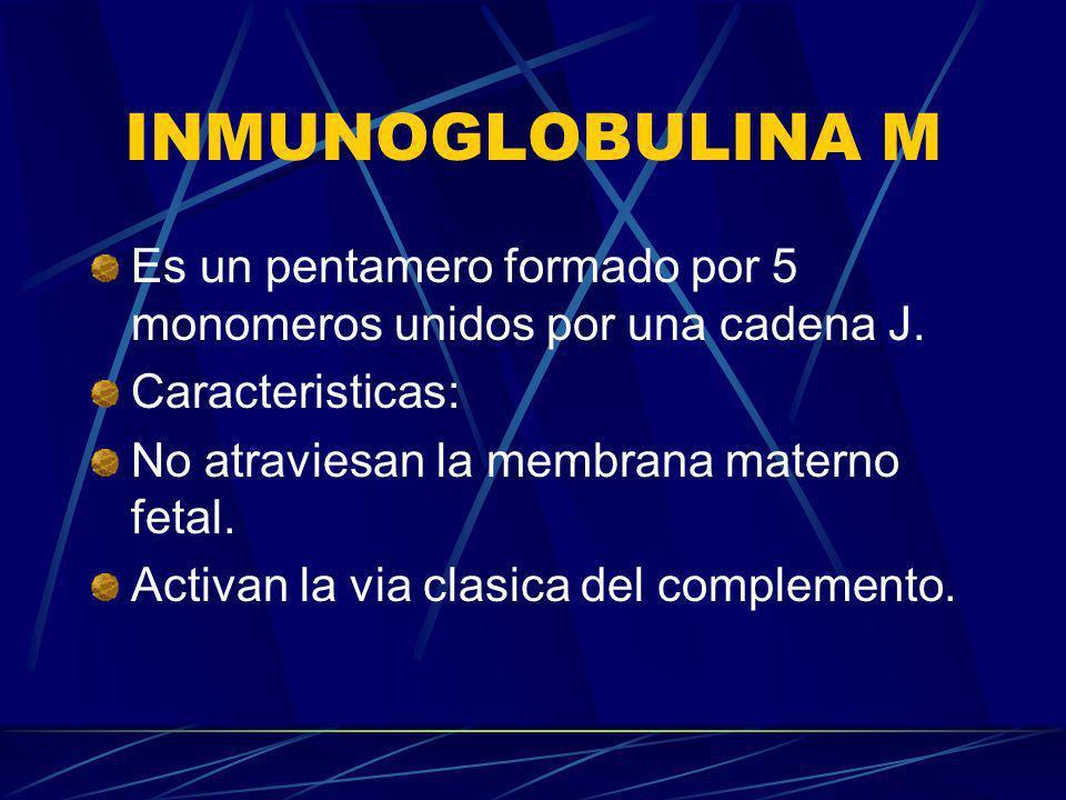 INMUNOGLOBULINA MEs un pentamero formado por 5 monomeros unidos por una cadena J. Caracteristicas: No atraviesan la membrana materno fetal.