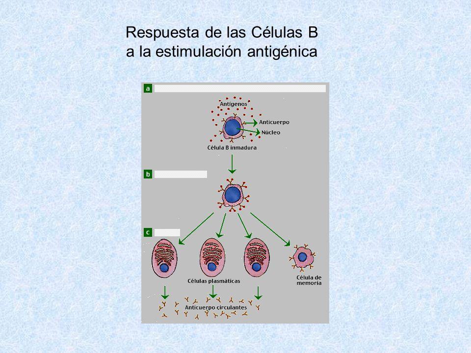 Respuesta de las Células B a la estimulación antigénica