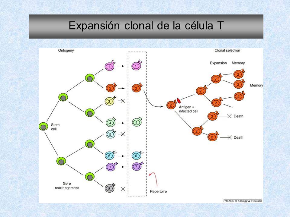 Expansión clonal de la célula T