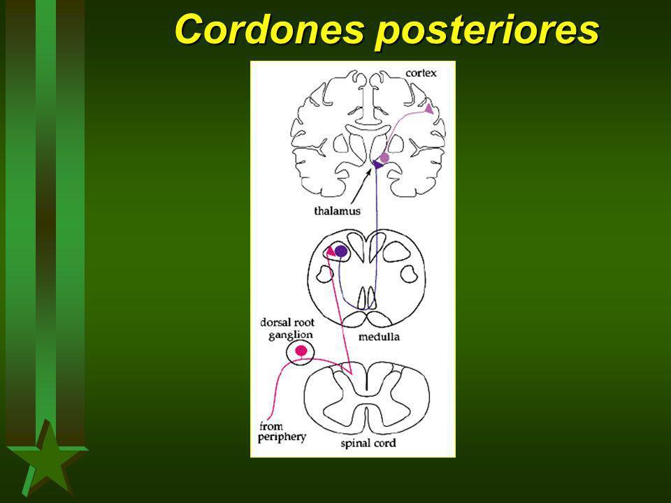 Cordones posteriores
