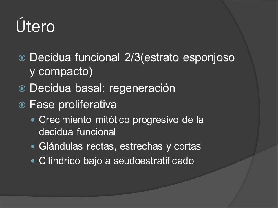 Útero Decidua funcional 2/3(estrato esponjoso y compacto)