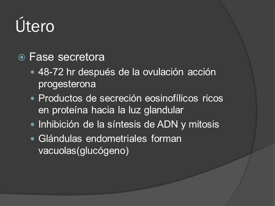 ÚteroFase secretora. 48-72 hr después de la ovulación acción progesterona.